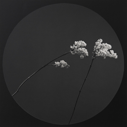 Robert Mapplethorpe, Flower, 1984. Image courtesy Ordovas Gallery